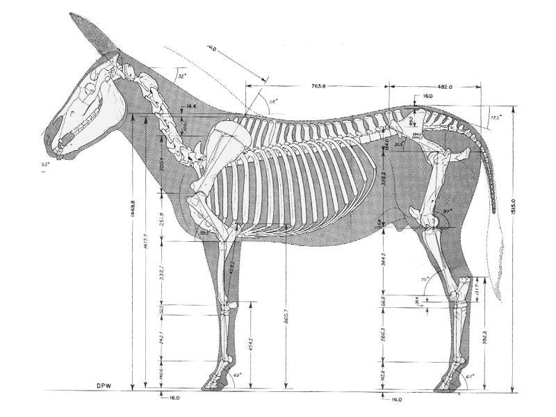 Donkey Skeleton